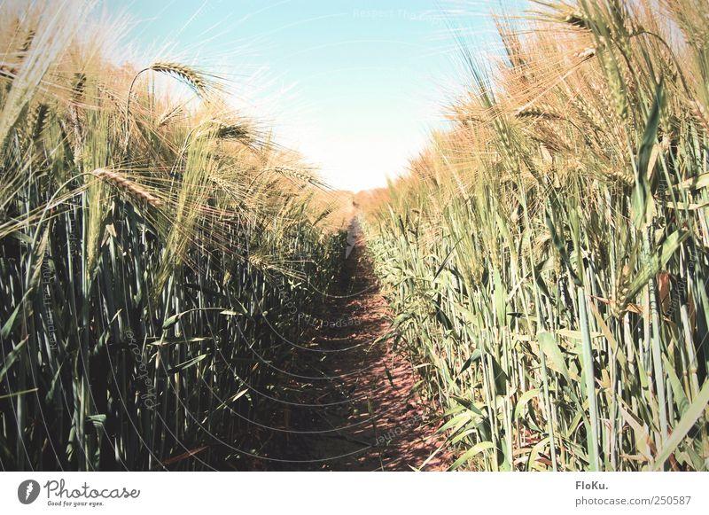 Schneise im Feld Landwirtschaft Forstwirtschaft Umwelt Natur Landschaft Pflanze Erde Himmel Wolkenloser Himmel Sonnenlicht Sommer Schönes Wetter Gras Blatt