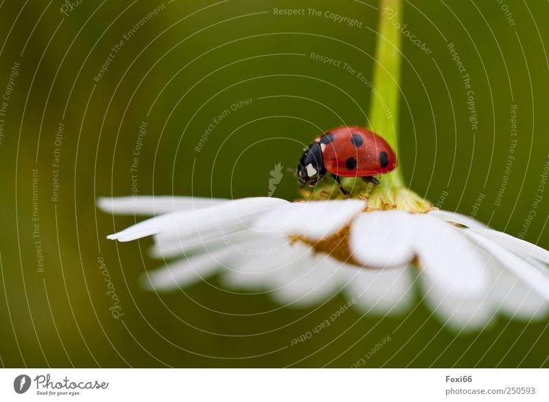das Glück kommt von oben grün weiß schön rot Sommer schwarz Tier Wiese Blüte Feld natürlich Neugier Käfer Nutztier Wildpflanze