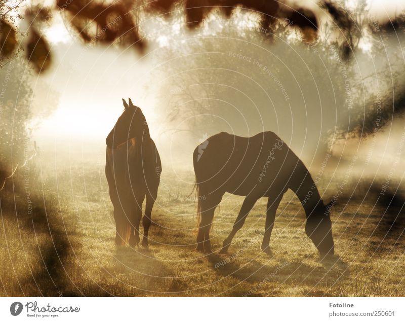 Pferde im Nebel Natur Pflanze Tier Wiese Umwelt Landschaft Gras hell Tierpaar Nebel natürlich Sträucher Pferd