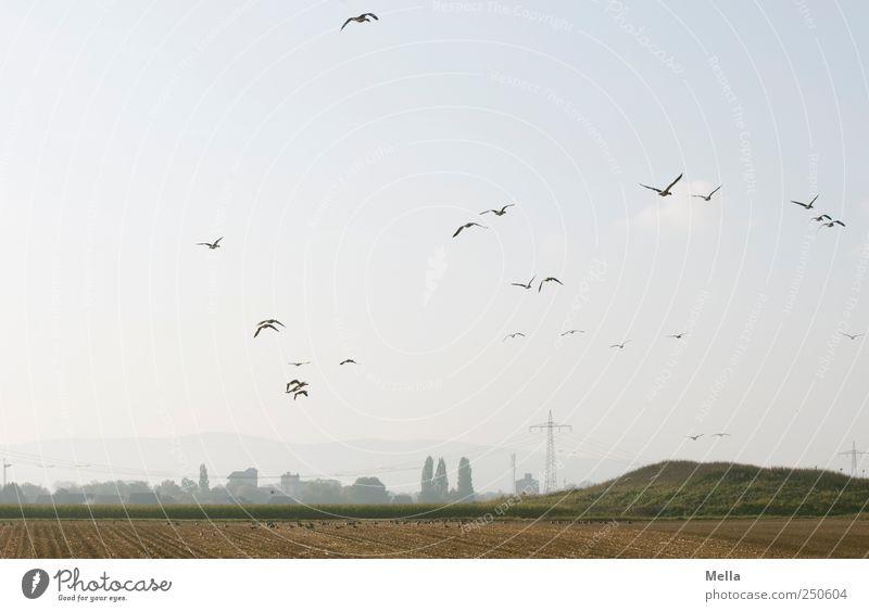 Sammelstelle Natur Ferne Tier Freiheit Umwelt Landschaft Vogel Feld Zusammensein fliegen frei natürlich Tiergruppe Landwirtschaft Grundbesitz Gans
