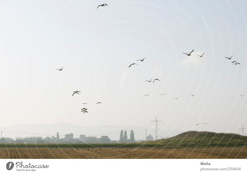 Sammelstelle Umwelt Landschaft Feld Tier Vogel Gans Tiergruppe Schwarm fliegen frei natürlich Zusammensein Freiheit Natur Ferne Zugvogel Wildgans Grundbesitz