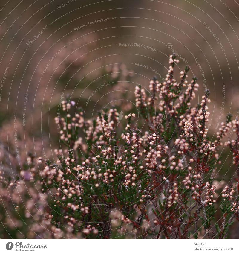Heidekraut im September Calluna Bergheide Wildpflanze Sträucher dezent heimisch natürlich Calluna Vulgaris Heidekrautgewächse Dunkelfärbung herbstlich Blühend