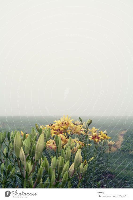 Blumen zum selber schneiden Umwelt Natur Landschaft Pflanze Himmel Herbst schlechtes Wetter Nebel Feld natürlich gelb grün Dunst trist pflücken Aussaat Ferne