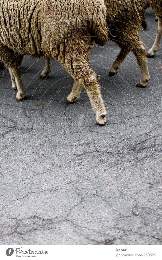 Schafwandeln Straße Asphalt Riss Tier Nutztier Fell Pfote Huf Tiergruppe Herde gehen grau buschig Schaffell Gleichschritt dreckig Farbfoto Gedeckte Farben