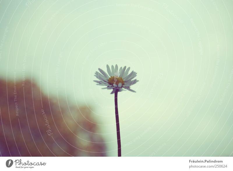 Tausendschön. Umwelt Natur Pflanze Luft Himmel Wolkenloser Himmel Frühling Schönes Wetter Blume Blatt Blüte Gänseblümchen Garten Blühend fliegen verblüht