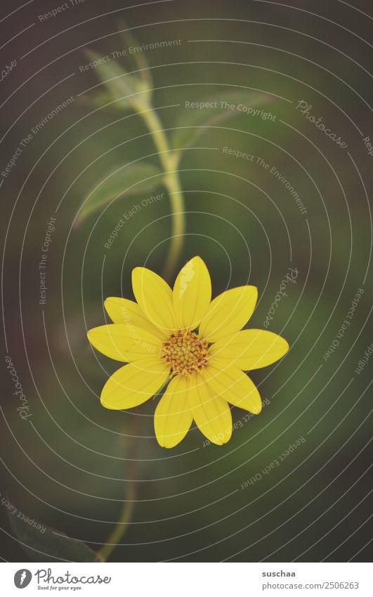 gelbes blümchen Natur Außenaufnahme Sommer Wärme Pflanze Blume Blüte Blütenblatt Garten Park Blühend Farbfoto Menschenleer natürlich Inspiration Geburtstag