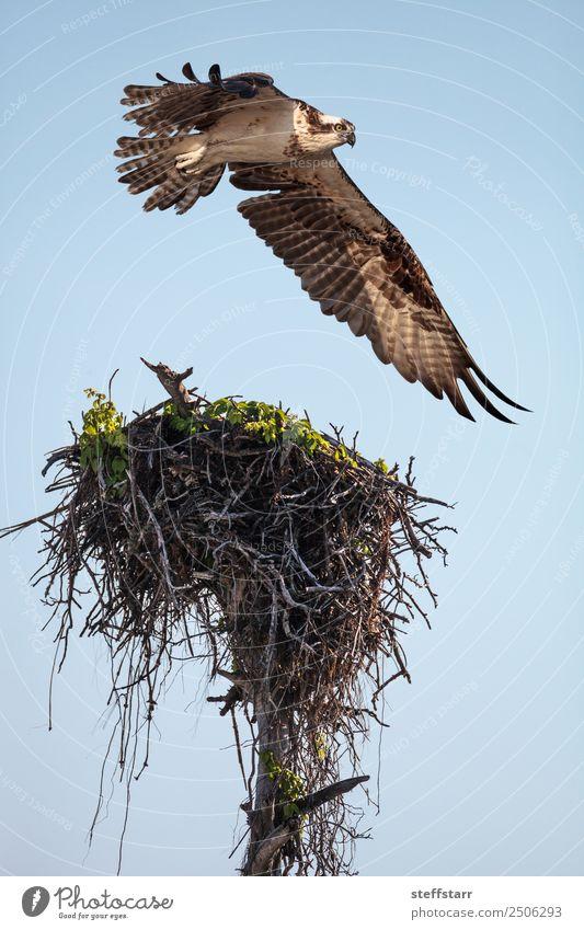 Fischadler Greifvogel Pandion haliaetus fliegt über ein Nest. Strand Meer Natur Sand Urwald Küste Tier Wildtier Vogel 1 fliegen braun weiß Meeresvogel Seefahrer