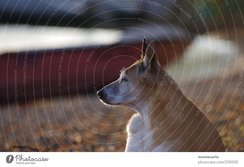 Lauscher auf... Natur Tier Umwelt Hund Tiergesicht Fell hören Seeufer Haustier Perspektive