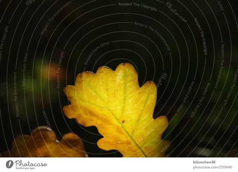 Licht aus, Spot an! Umwelt Natur Pflanze Herbst Blatt fallen klein natürlich gelb gold Herbstlaub herbstlich Herbstfärbung Herbstwald Jahreszeiten Blattadern