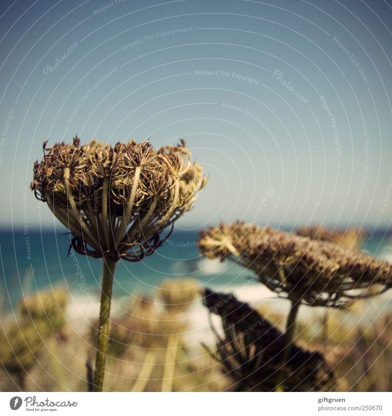 last days of summer Natur Pflanze Urelemente Wasser Himmel Wolkenloser Himmel Sommer Blume Blüte Küste Meer Wandel & Veränderung Vergänglichkeit vertrocknet