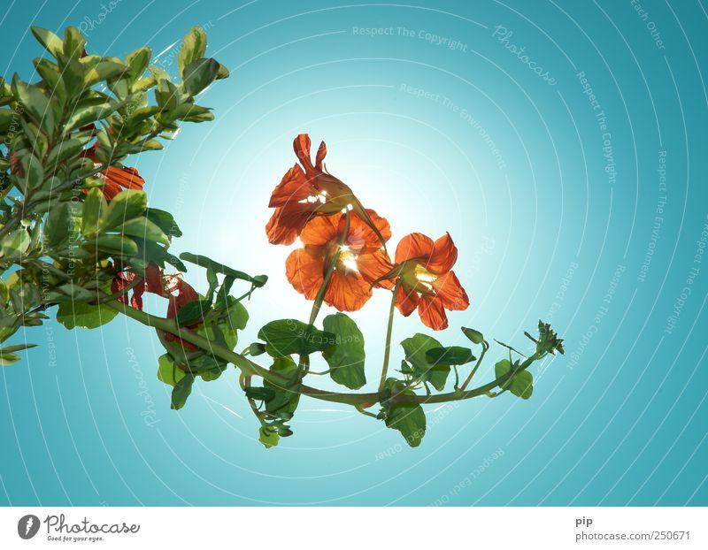 tropaeolum Pflanze Himmel Wolkenloser Himmel Blume Blatt Blüte Kapuzinerkresse Kletterpflanzen leuchten hell rot orange essbar Ranke Farbfoto mehrfarbig