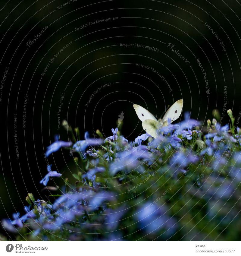 Berliner Balkonfauna Natur grün Pflanze Blume Blatt Tier gelb Umwelt Garten Blüte sitzen Wildtier Flügel violett Blühend Schmetterling