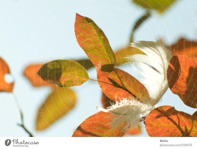 Federleicht ... Natur Pflanze Blatt Herbst Umwelt Zeit natürlich Vergänglichkeit Ast Schönes Wetter hängen Leichtigkeit herbstlich festhängen