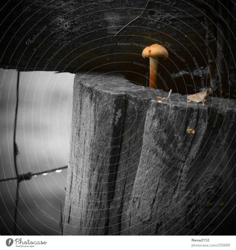 Nagel-Pilz Natur weiß Pflanze Einsamkeit schwarz Holz klein lustig braun einzeln Gitter Holzpfahl Pilzhut