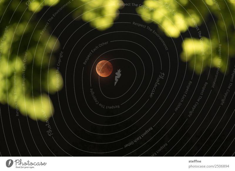 Blutmond bei totaler Mondfinsternis, durch Baum fotografiert Umwelt Natur Vollmond außergewöhnlich blutmond roter mond Farbfoto Außenaufnahme Menschenleer