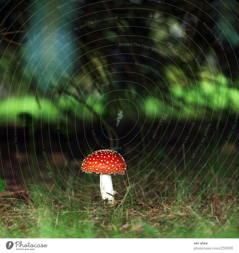 Götterpilz Ernährung Natur Pflanze Gras Pilz Pilzhut Fliegenpilz Wald Blühend Wachstum ästhetisch bedrohlich exotisch nachhaltig rund schön grün rot weiß Glück