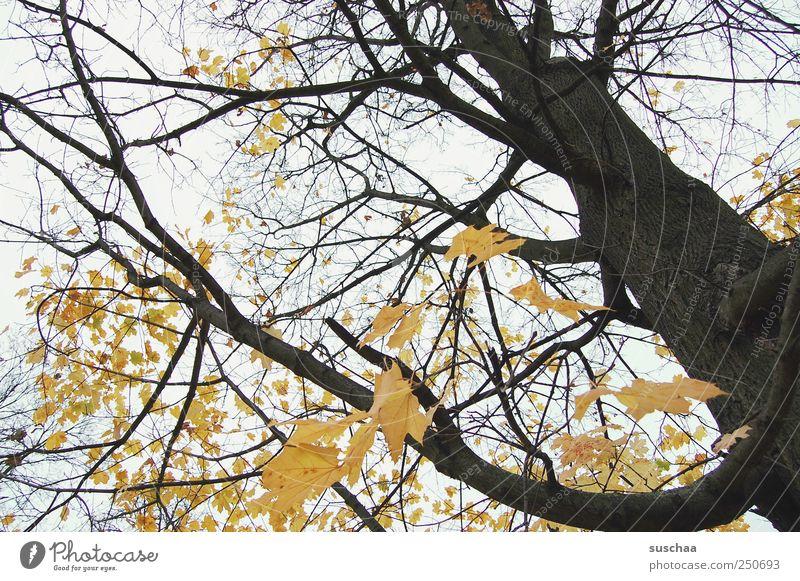 baum Umwelt Natur Luft Himmel Herbst Klima Wetter Baum Blatt Wald Holz alt gelb schwarz ruhig Vergänglichkeit Wandel & Veränderung majestätisch Baumstamm Äste
