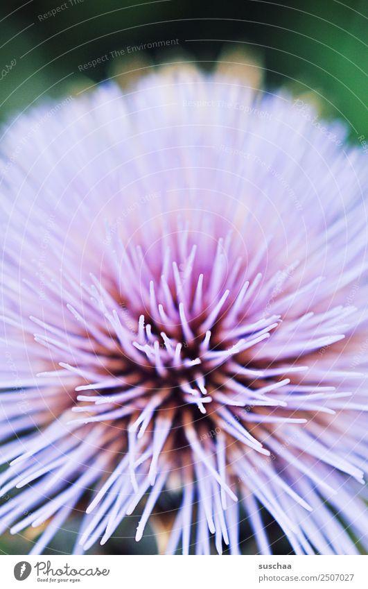 blume in violtett blüte pflanze natur garten violett zart pastellfarben nektar sommer warm draußen nahaufnahme