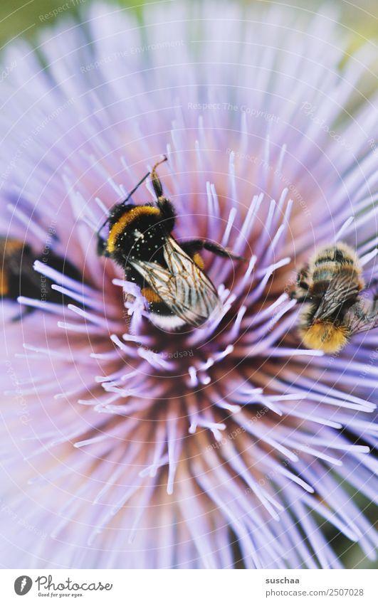 hummeliges gewusel Hummel Insekt pelzig Flügel Blume Blüte Nektar violett Natur Außenaufnahme Sommer bestäuben Garten Wärme Nahaufnahme