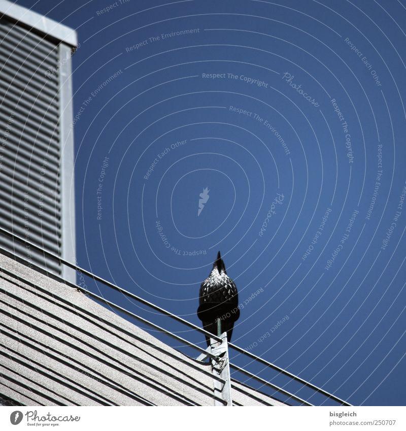 aufwärts Himmel blau Tier grau Metall Vogel sitzen Stolz Wolkenloser Himmel