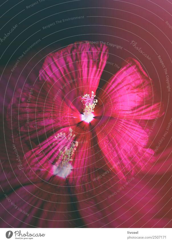schöner rosa Hibiskus Dekoration & Verzierung Natur Pflanze Blume Blüte Coolness elegant niedlich rot schwarz Hawaiiblume Nizza Hintergrund Beautyfotografie