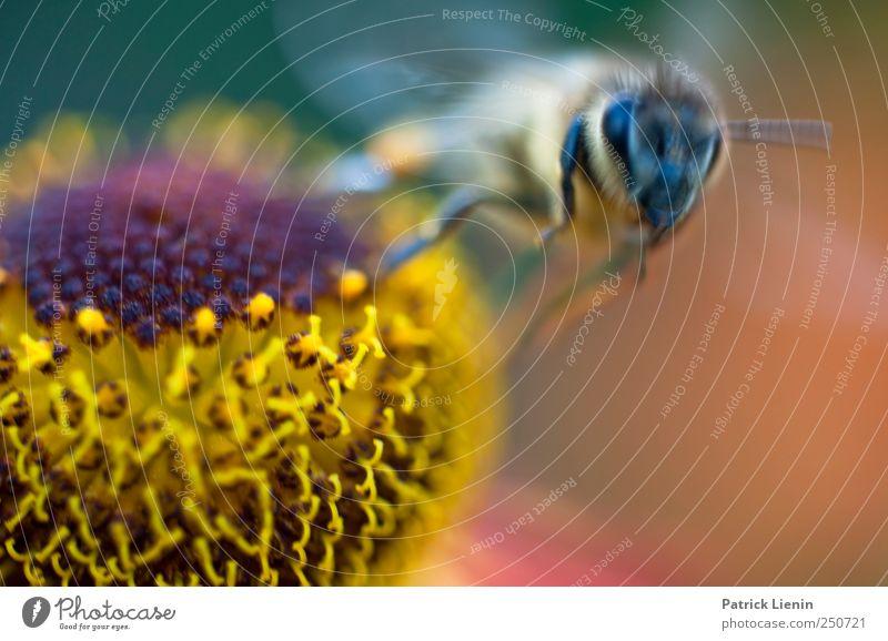 Abflug schön Sommer Garten Arbeit & Erwerbstätigkeit Auge Umwelt Natur Pflanze Tier Blume Blüte Wildtier Biene Sammlung ästhetisch wild Honig fliegen Farbfoto