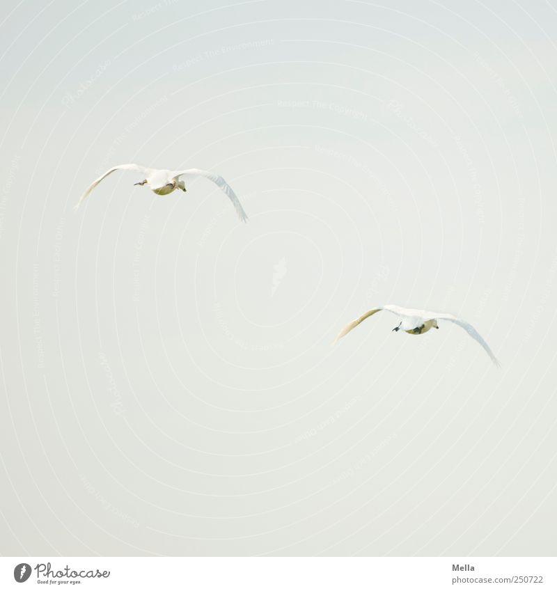 Fort Natur Tier Freiheit Umwelt Bewegung Luft Vogel Zusammensein Tierpaar fliegen frei ästhetisch natürlich Schwan Treue Einigkeit