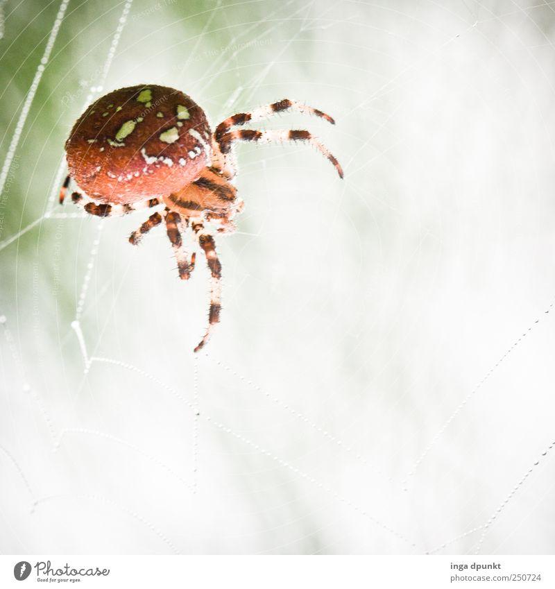 Im Visier der Kreuzspinne Natur Wasser weiß Tier Wiese Umwelt Garten Angst warten Ausflug Nebel wandern Wassertropfen Netz Insekt beobachten