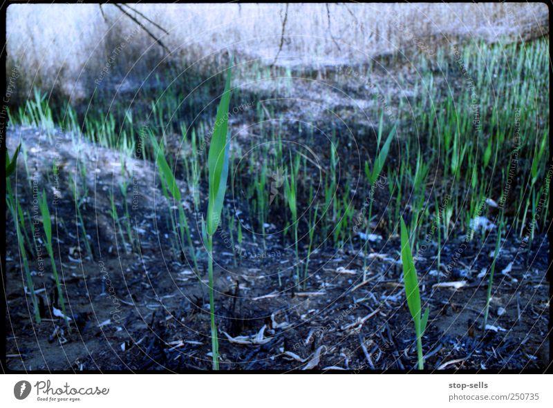 Leben nach dem Feuer Natur Pflanze grün schwarz Umwelt Wiese Gras Feld Wachstum Erde Urelemente Brand Hoffnung Getreide
