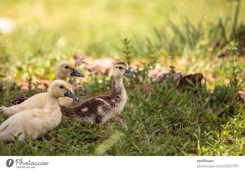 Gelbes Baby Muskovy Entenküken Cairina moschata Sommer Mutter Erwachsene Familie & Verwandtschaft Natur Tier Gras Teich Nutztier Wildtier Vogel Tiergesicht 3