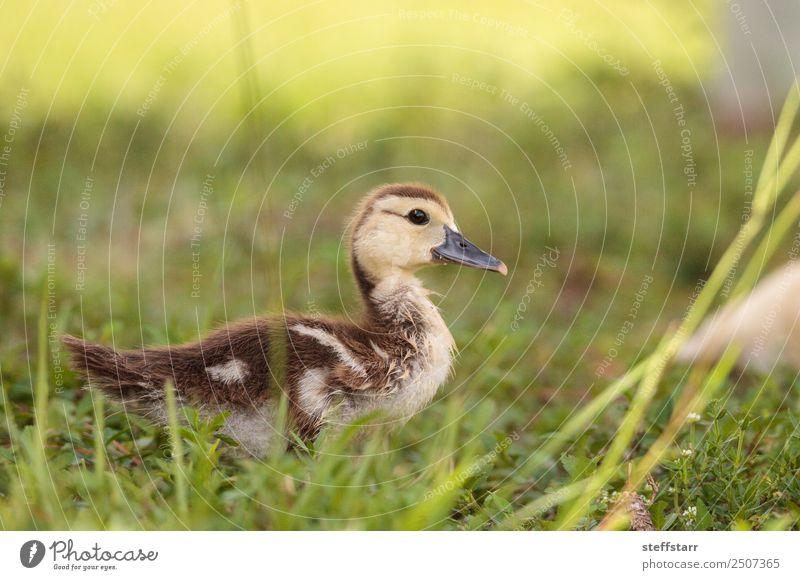 Gelbes Baby Muskovy Entenküken Cairina moschata Sommer Mutter Erwachsene Familie & Verwandtschaft Natur Tier Gras Teich Nutztier Wildtier Vogel 1 Tierjunges