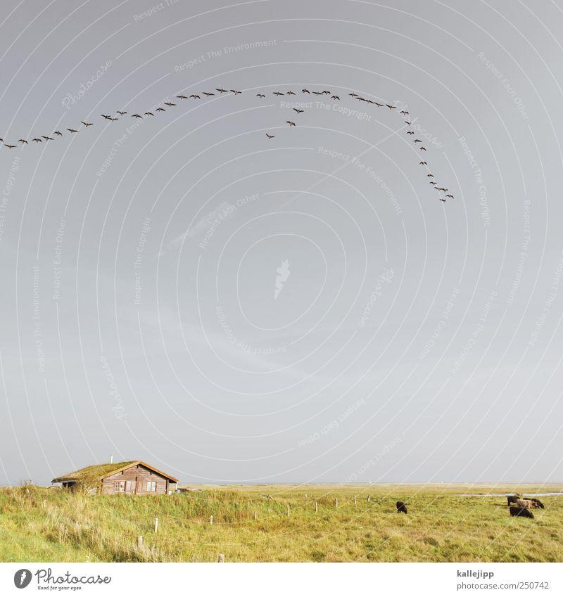 schwärmende herden Sommer Meer Tier Herbst Gras Küste Vogel Horizont fliegen Wildtier Autofenster Dach Tiergruppe Landwirtschaft Kuh Hütte