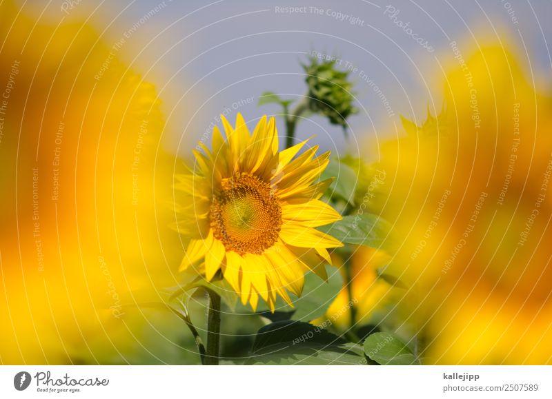 sunflowers Natur Sommer Pflanze Landschaft Tier Blatt gelb Umwelt Blüte Feld Wachstum Erfolg Blühend Stern Energie Kreis