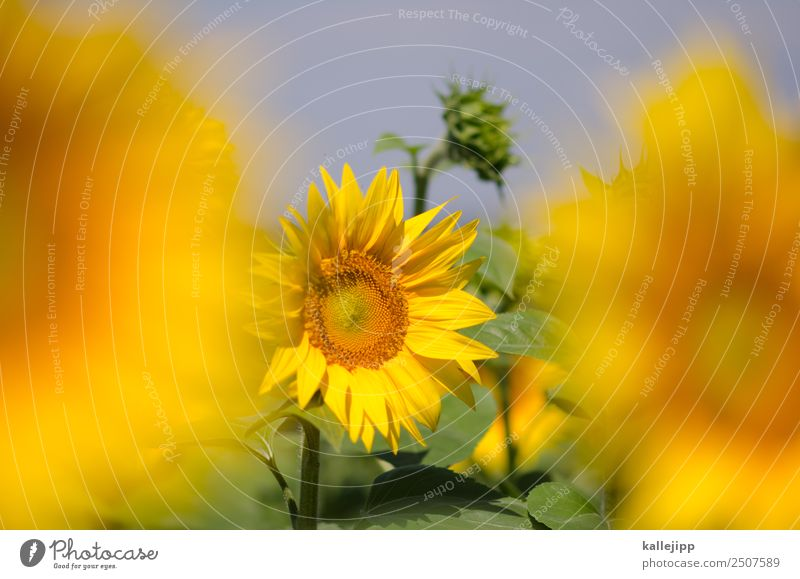 sunflowers Umwelt Natur Landschaft Pflanze Tier Blatt Blüte Nutzpflanze Feld Blühend Sonnenblume Sonnenblumenfeld Blütenknospen gelb Sommer Sommerurlaub