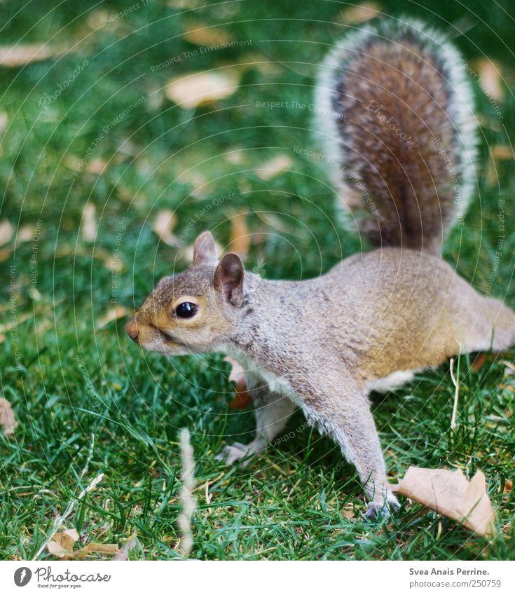 morgensport. Blatt Wiese Tier Wildtier Pfote Eichhörnchen 1 Bewegung beweglich gelenkig Neugier Farbfoto Außenaufnahme Schwache Tiefenschärfe Tierporträt