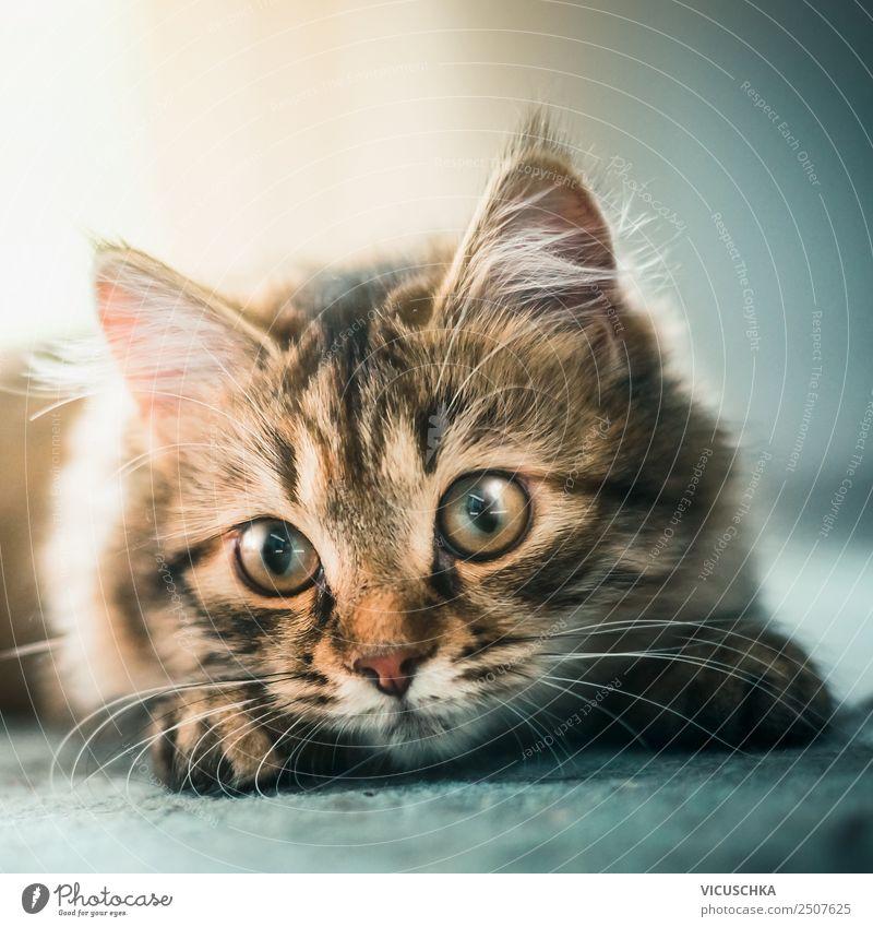 Gesicht junges Sibirisches Waldkätzchens Katze schön Auge Design niedlich Haustier Katzenbaby