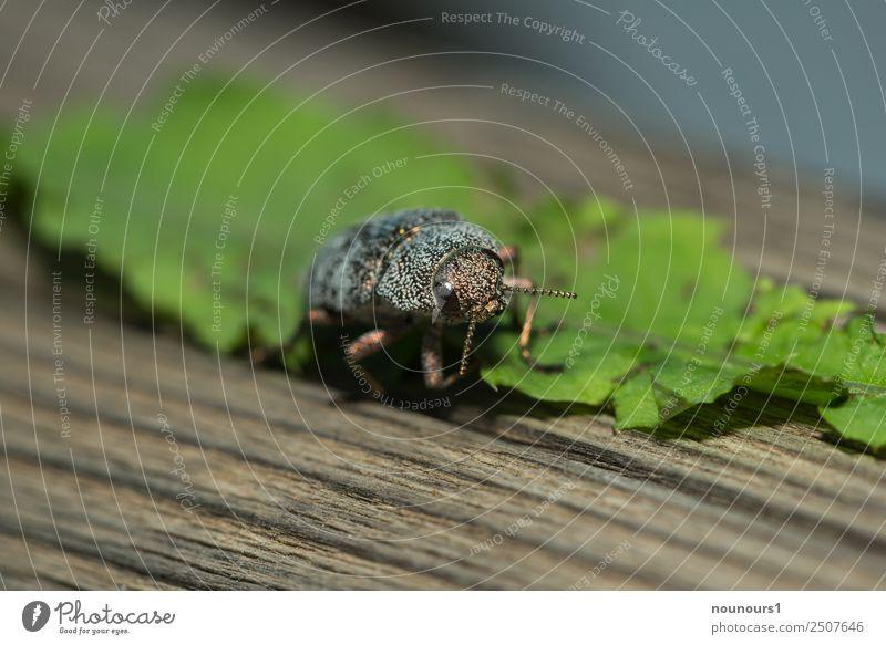 goldig glänzend Tier Wildtier Käfer 1 krabbeln laufen leuchten außergewöhnlich schön braun grau grün Farbfoto Außenaufnahme Makroaufnahme Tag Blitzlichtaufnahme