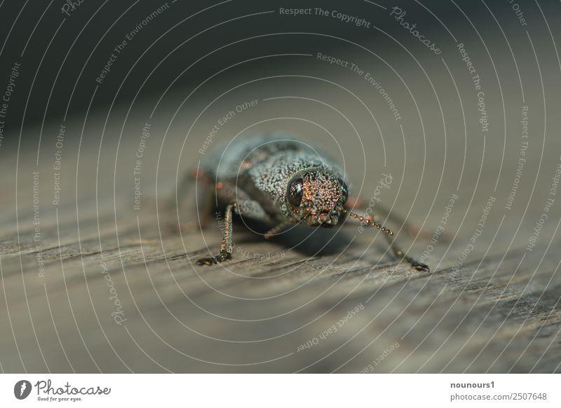 goldig Tier Wildtier Käfer 1 glänzend hocken krabbeln laufen außergewöhnlich schön braun grau schwarz Farbfoto Gedeckte Farben Außenaufnahme Makroaufnahme Tag