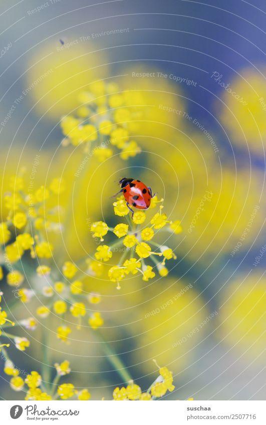 wer mag nen suschaa-glückskäfer? Blume Blüte Natur Außenaufnahme Pflanze Kraut Dill schön Insekt Käfer Glücksbringer Marienkäfer gelb Schwache Tiefenschärfe