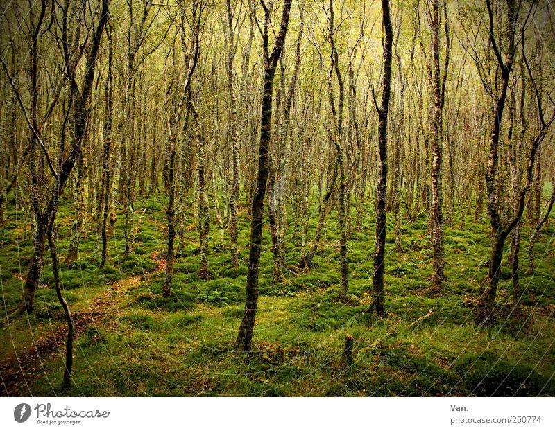 irischer Wald Natur Ferien & Urlaub & Reisen grün schön Baum ruhig Umwelt Gras Wege & Pfade Holz braun Stimmung leuchten Wachstum Erde