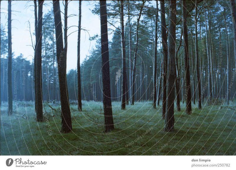 kiefernwald Landwirtschaft Forstwirtschaft Natur Pflanze Baum Gras Wald dunkel hoch blau grün ruhig Idylle Kiefer analog viele Waldlichtung Außenaufnahme