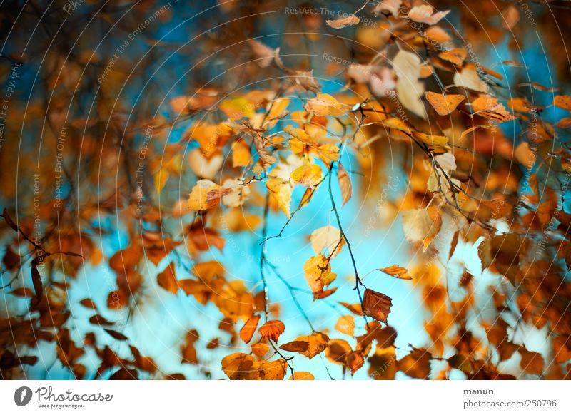 Birkenherbst Natur schön Baum Blatt Herbst natürlich authentisch außergewöhnlich Vergänglichkeit fantastisch Herbstlaub herbstlich Herbstfärbung Herbstbeginn