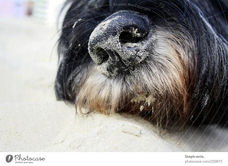 Sandschnute. Sommer Ferien & Urlaub & Reisen ruhig Tier schwarz Erholung grau Hund Zufriedenheit Freizeit & Hobby Mund Nase liegen schlafen natürlich