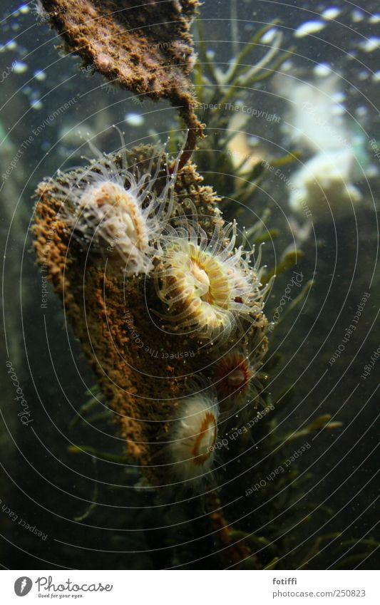 sumergida Wasser ruhig Tier elegant sitzen nass ästhetisch Rose Schweben exotisch friedlich schleimig Meerwasser salzig Nesseltiere
