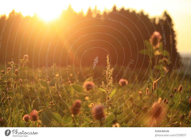sonnengesättigt Natur Landschaft Pflanze Sonnenaufgang Sonnenuntergang Sonnenlicht Sommer Gras Grünpflanze Wildpflanze Klee Kleeblüte Wiese Feld Wald Stimmung