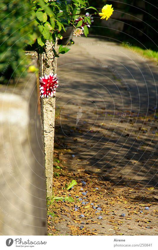 Sind wir nicht schön? [CHAMANSÜLZ 2011] Natur Pflanze Herbst Schönes Wetter Blume Herbstblume Garten Dorf Menschenleer Mauer Wand Straße Seitenstraße Stein