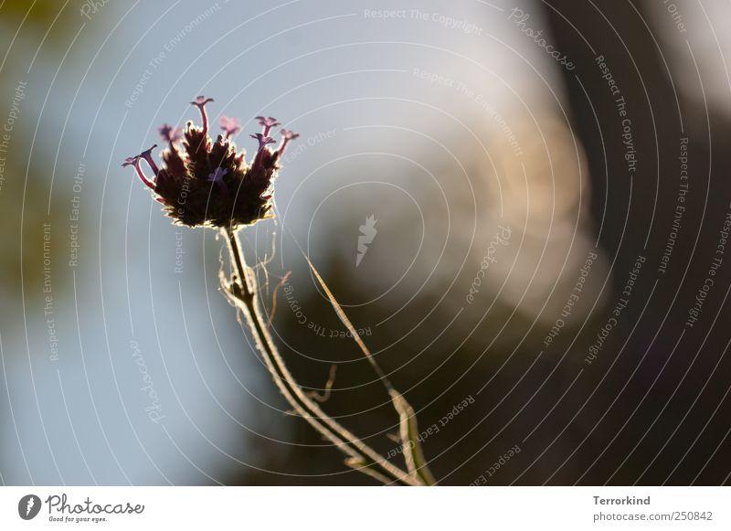 [CHAMANSÜLZ 2011] mini.welt Pflanze Blume Garten Licht Spinnennetz Blüte violett mehrfarbig zart Zärtlichkeiten sanft Morgendämmerung Sonnenaufgang hallotag