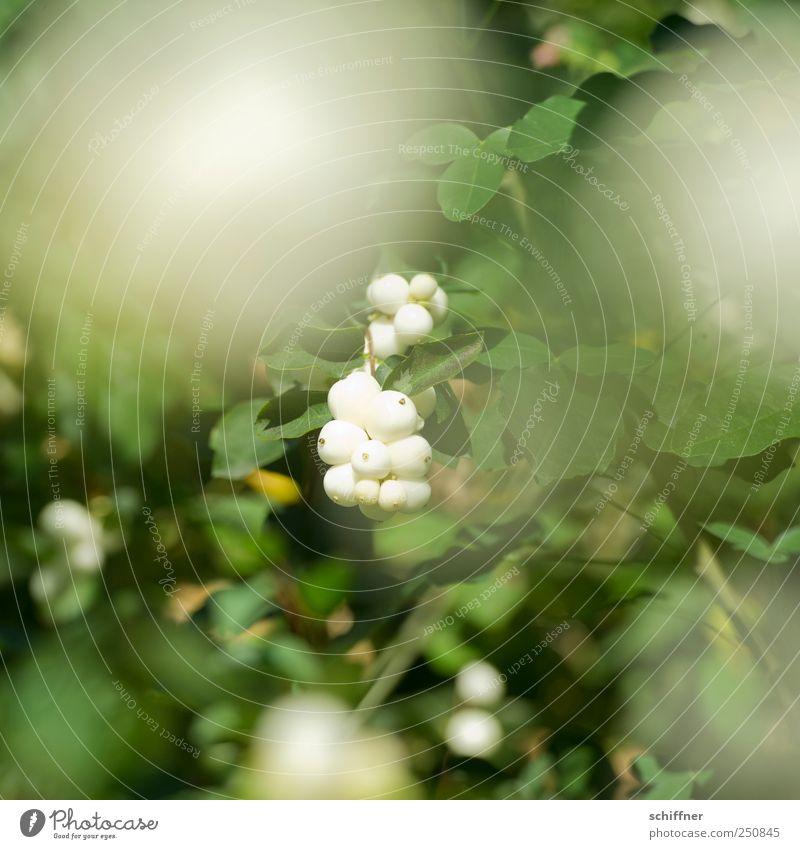 Chamansülz | Böbbelbeeren Natur Pflanze Sträucher Blatt Grünpflanze grün weiß Beeren Beerensträucher Beerenfruchtstand Albino Schönes Wetter Außenaufnahme