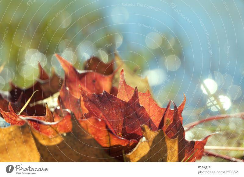Herbst Glitzern Umwelt Natur Schönes Wetter Pflanze Gras Blatt Grünpflanze Herbstfärbung Herbstlaub herbstlich Herbstbeginn fallen glänzend leuchten blau gelb