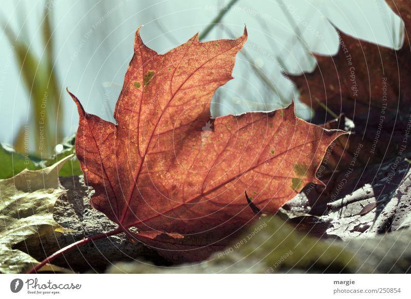 Ein rotes Herbstblatt Umwelt Natur Landschaft Pflanze Tier Erde Schönes Wetter Gras Blatt Grünpflanze Nutzpflanze Herbstbeginn Herbstfärbung Oktober Herbstlaub